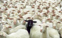 Be A Black Sheep